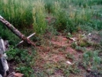 В Баймакском районе полицейские уничтожают поля с дикорастущей коноплей